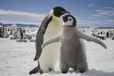 Emperor Penguin and Chick in Antarctica Reproduction photographique par Paul Souders