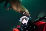 Self Portrait of Photographer with a Steller Sea Lion About to Bite His Head Lámina fotográfica por Paul Souders