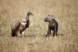 Spotted Hyena Pup and Whitebacked Vulture Fotografisk tryk af Paul Souders
