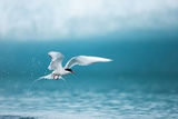 Arctic Tern Fishing in Jokulsarlon Lake Photographic Print by Paul Souders