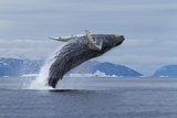 Humpback Whale Calf Breach in Disko Bay in Greenland Photographic Print by Paul Souders