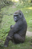 New York City, Bronx Zoo, Gorilla Photographic Print by Samuel Magal