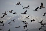 Middle East, Israel, Hula Park, Large group of Cranes Fotografie-Druck von Samuel Magal