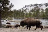 Bishon, Yellowstone National Park, Wyoming Premium-Fotodruck von Paul Souders
