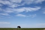 Bison, Badlands National Park, South Dakota Fotografisk tryk af Paul Souders
