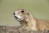 Prairie Dog Fotografisk tryk af Paul Souders