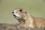 Prairie Dog Photographic Print by Paul Souders