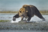 Brown Bear and Salmon, Katmai National Park, Alaska Impressão fotográfica por Paul Souders