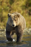 Brown Bear, Katmai National Park, Alaska Fotografisk trykk av Paul Souders