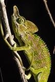 Chameleon, Kirindy Forest Reserve, Madagascar Fotografie-Druck von Paul Souders