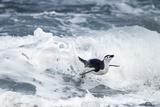 Chinstrap Penguin, Deception Island, Antarctica Fotografie-Druck von Paul Souders