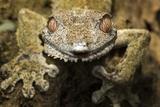 Leaf Gecko, Madagascar Fotografisk tryk af Paul Souders