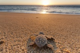 Olive Ridley Turtle Hatchling, Baja, Mexico Fotografie-Druck von Paul Souders
