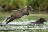 Brown Bear Cub, Katmai National Park, Alaska Premium fototryk af Paul Souders