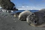 Weddell Seals on Livingstone Island, Antarctica Stampa fotografica di Paul Souders