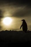 Gentoo Penguin at Sunset, Antarctica Fotografisk tryk af Paul Souders