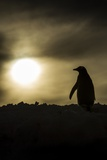 Gentoo Penguin at Sunset, Antarctica Photographic Print by Paul Souders