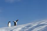 Gentoo Penguins on Iceberg, Antarctica Fotografisk tryk af Paul Souders