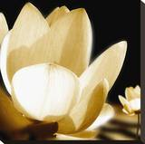Lily Light III Stretched Canvas Print by Malcolm Sanders