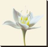 Bloom II Stretched Canvas Print by Max Carter