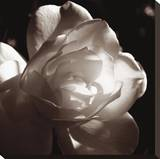 White Rose I Stretched Canvas Print by Malcolm Sanders