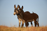 Two Young Wild Burro (Donkey) (Equus Asinus) (Equus Africanus Asinus) Playing Photographic Print by James Hager