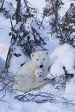 Polar Bear (Ursus Maritimus) and Cubs Stampa fotografica di David Jenkins
