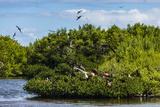 Frigate Bird Colony in the Codrington Lagoon Reproduction photographique par Michael Runkel