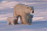 Polar Bear (Ursus Maritimus) and Cubs Reproduction photographique par David Jenkins