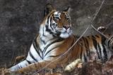 Bengal Tiger, Panthera Tigris Tigris, Bandhavgarh National Park, Madhya Pradesh, India Fotografisk tryk af Kim Sullivan