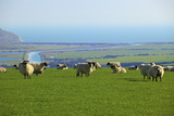 Sheep with Cuckmere Haven in the Background, East Sussex, England, United Kingdom, Europe Fotografisk tryk af Neil Farrin