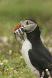 Puffin with Beak Full of Sand Eels, Wales, United Kingdom, Europe Reproduction photographique par Andrew Daview