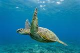 Green Sea Turtle (Chelonia Mydas) Underwater, Maui, Hawaii, United States of America, Pacific Photographic Print by Michael Nolan