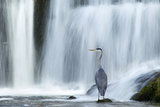 Grey Heron (Ardea Cinerea) Beneath Waterfall. Ambleside, Lake District, UK, November Photographic Print by Ben Hall