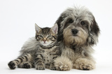 Tabby Kitten, Fosset, 8 Weeks Old, with Fluffy Black-And-Grey Daxie-Doodle Pup, Pebbles Lámina fotográfica por Mark Taylor
