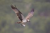 Osprey (Pandion Haliaeetus) in Flight, Fishing at Dawn, Rothiemurchus, Cairngorms Np, Scotland, UK Reproduction photographique par Peter Cairns