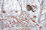 Female Blackbird (Turdus Merula) Perched in Crab Apple Tree in Winter, Scotland, UK, December 2010 Photographic Print by Mark Hamblin