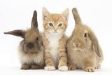 Ginger Kitten, 7 Weeks, Sitting Between Two Young Lionhead-Lop Rabbits Lámina fotográfica por Mark Taylor
