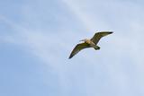 Curlew (Numenius Arquata) in Flight, Peak District Np, UK, June 2011 Reproduction photographique par Ben Hall