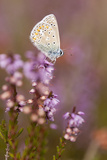 Common Blue Butterfly (Polyommatus Icarus), Resting on Flowering Heather, Dorset, England, UK 写真プリント : ロス・ホディノット