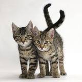Tabby Kittens, Stanley and Fosset, 12 Weeks Old, Walking Together Fotografie-Druck von Mark Taylor