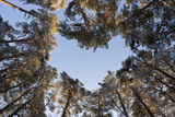 Looking Up Through Canopy of Scot's Pine Trees (Pinus Sylvestris) Woodland Showing Heart Shape, UK Photographic Print by Mark Hamblin