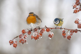Robin (Erithacus Rubecula) and Blue Tit (Parus Caeruleus) in Winter, Perched on Twig, Scotland, UK Photographic Print by Mark Hamblin