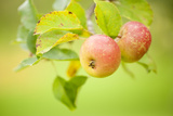 Apples (Malus Domestica) Growing in Traditional Orchard at Cotehele Nt Property, Cornwall, UK 写真プリント : ロス・ホディノット