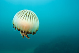 Compass Jellyfish (Chrysaora Hysoscella) Swimming over a Rocky Reef, Plymouth, Devon, UK, August Photographic Print by Alex Mustard
