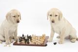 Yellow Labrador Retriever Bitch Puppies, 10 Weeks, Playing Chess Impressão fotográfica por Mark Taylor