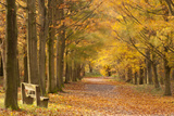 European Beech Trees in Autumn, Beacon Hill Country Park, the National Forest, Leicestershire, UK 写真プリント : ロス・ホディノット