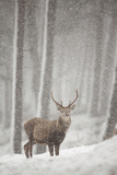 Red Deer (Cervus Elaphus) in Heavy Snowfall, Cairngorms National Park, Scotland, March 2012 Fotografisk tryk af Peter Cairns