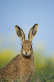 European Brown Hare (Lepus Europaeus) Adult Portrait Near Field of Rapeseed, Cambridgeshire, UK Photographic Print by Andrew Parkinson