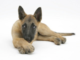 Belgian Shepherd Dog Puppy, Antar, 10 Weeks, Lying with Chin on Crossed Paws Photographic Print by Mark Taylor
